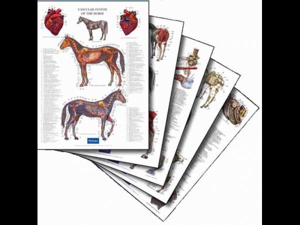 Set Affiches anatomique Cheval 5 pièces complet